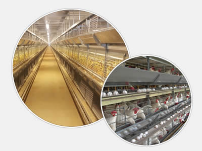 There are two pictures of professional breeding chicken cages with automatic system for effective chickens breeding.