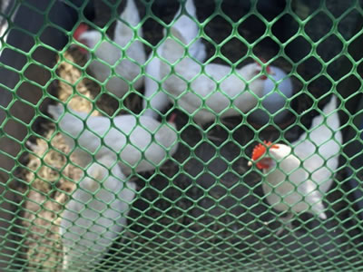 There are some chickens raised in the extruded plastic poultry netting which has the hexagonal opening with green color.