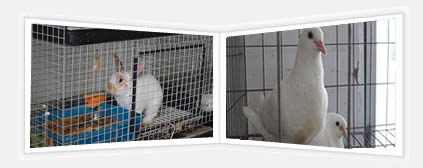 One pigeon cage with two pigeons and one rabbit cage with one rabbit are displayed.