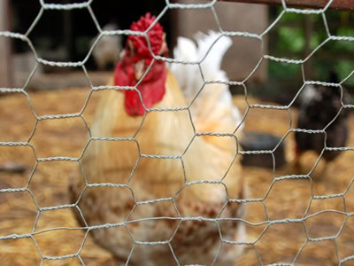 There is a chicken in the hexagonal chicken cage whose surface is galvanized.
